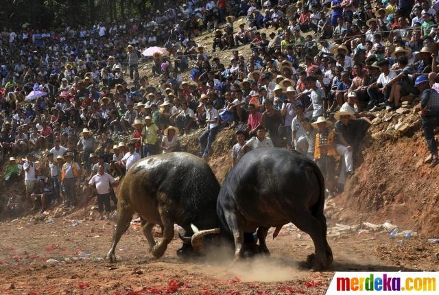 Melihat keganasan banteng bertarung di Festival Mid-Autumn